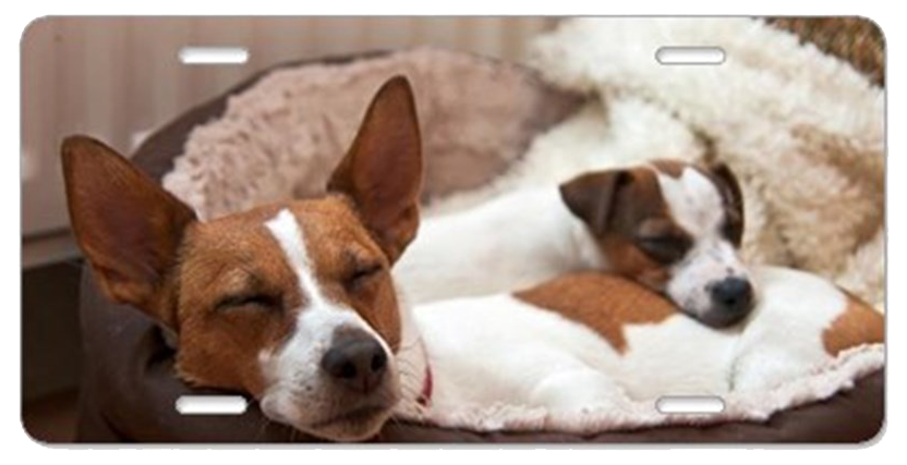 two_jack_russell_terriers_s_aluminum_license_plate
